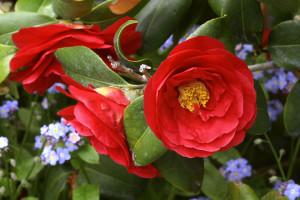Feb-Camellia-Fest-MZ